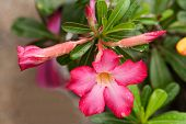 foto of desert-rose  - Pink Impala Lily Or Desert Rose Flowers - JPG