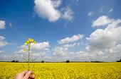 Farmer is holding rape in his hand. The background is a nice rape field and blue and cloudy sky.