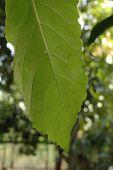 Worm Eaten Leaf