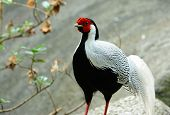 pic of pheasant  - beautiful male Silver Pheasant  - JPG
