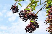 stock photo of elderberry  - Ripe wild elderberries medicinal garden nature fresh - JPG