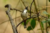 stock photo of bulbul  - beautiful Red - JPG
