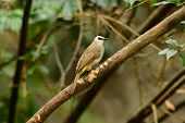 pic of bulbul  - beautiful yellow - JPG