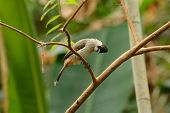 image of bulbul  - beautiful Sooty - JPG