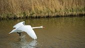 Swan flying over a river in winter