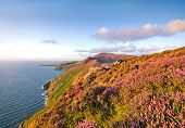 Heather In Bloom. Isle Of Man Moorlands