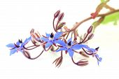 picture of borage  - blue borage flowers on a white background - JPG