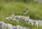Redshank With Two Ringed Plovers