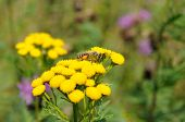 picture of tansy  - Bee with pollen on yellow flowers of tansy - JPG