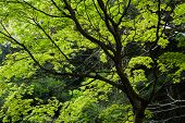 Scenery of green maple trees in Nara Park, Japan, Asia