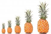 Evolution concept.Ripe pineapples isolated on white