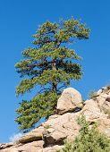 Lone Ponderosa Pine At Turtle Rocks Colorado