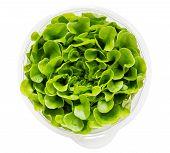 Salanova Lettuce In Growing Mix In Plastic