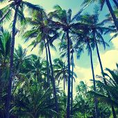 Coconut Palm Trees With Instagram Effect