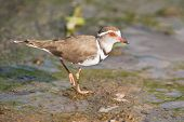 Three Banded Plover Walking In Muddy Shallow Water Bright Sunlight
