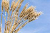Barley like a half fan