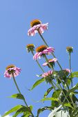 Echinacea flowers in vertical