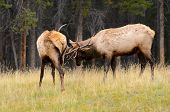 Rocky Mountain Elk Rutting