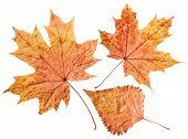 Plane Tree Leaf