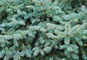 foto of blue spruce  - Close up of a blue spruce tree - JPG