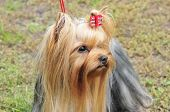 Yorkshire terrier.Dog.