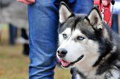 Siberian Husky. Dog