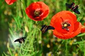Poppy flowers with butterflies outdoors