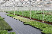 Cultivation Of Cupressus In A Dutch Greenhouse