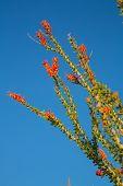 Blossoming Ocotillo