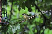 Great-tit On A Tree Branch.