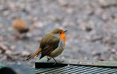 Robin On My Decking.