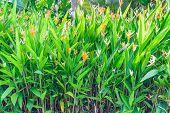 Orange Canna Flower In Garden