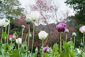 image of opiate  - Opium poppy field in garden at Chiang Mai Thailand - JPG