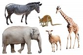 A Zebra, Elephant, Sheep, Kangaroo and Giraffe Isolated