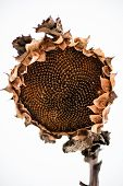 Withered Sunflower Head In Winter