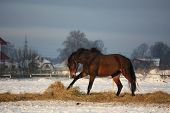 Brown Horse Running Free In Winter
