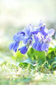 picture of viola  - beautiful close up Violet  - JPG