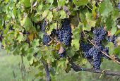 picture of merlot  - merlot grapes on the vine on vineyard