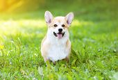 foto of corgi  - Sunny dog Welsh Corgi Pembroke on the grass - JPG
