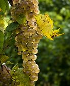 Plump Ripe White Grapes
