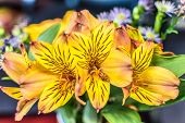 Closeup Of A Flower Arrangement Featuring Alstroemeria Aurea