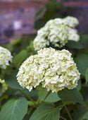 Blooming White Hortensia