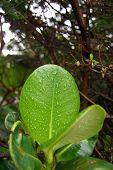 Leaf in Costa Rica
