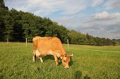 Jersey Cow Grazing On A Summer Pasture