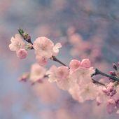 Pastel Filtered Cherry Blossom