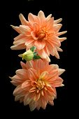 Two orange dahlia flowers isolated on black.