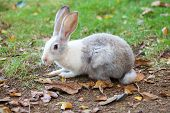 Gray And White Rabbit Sitting On Grass