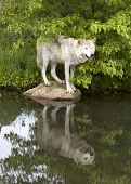 Wolf Standing on Rock with Clear Reflection in Lake