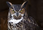 picture of owl eyes  - portrait of a great horned owl making eye contact - JPG