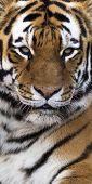 tiger vertical